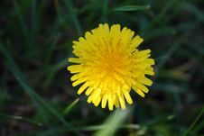 Free Flower, Yellow, Sow Thistles, Dandelion Stock Images - 107901344