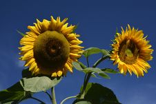 Free Sunflower, Flower, Yellow, Sunflower Seed Stock Photos - 107902253