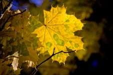 Free Leaf, Maple Leaf, Yellow, Autumn Stock Images - 107950674