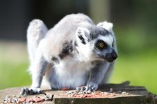 Free Mammal, Fauna, Lemur, Primate Royalty Free Stock Photos - 107955518