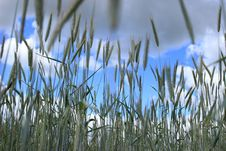 Free Grass, Grass Family, Sky, Phragmites Royalty Free Stock Photos - 107966128