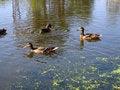 Free Ducks On Lake Stock Image - 1080201