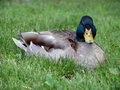 Free Portrait Of A Duck Resting Royalty Free Stock Photos - 1082138