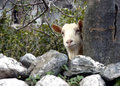 Free Goat Is Hiding Stock Photography - 1084742