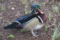 Free Wood Duck Royalty Free Stock Photography - 1087077