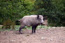 Free Boar Stock Images - 1080454