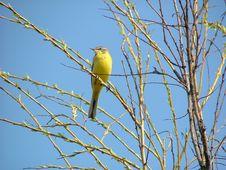 Free Yellow Wagtail Stock Photo - 1081080