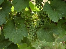 Free Grapes | Vineyard Royalty Free Stock Photos - 1081668