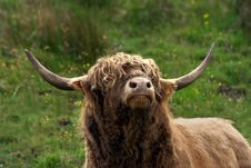 Free Highland Bull Royalty Free Stock Photo - 1081755