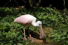 Free Pink Bird Royalty Free Stock Images - 1081959
