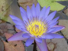 Free Water Lily Stock Photography - 1082012