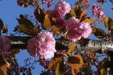 Free Sakura Cherry Flower Stock Photography - 1082322