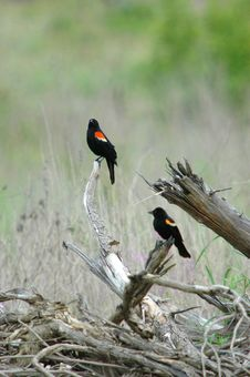 Free 2 Red-winged Blackbird Stock Photography - 1082662