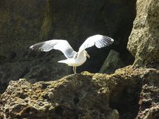 Free Gull And Rocks Royalty Free Stock Image - 1082866