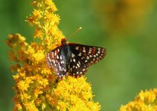 Free Butterfly On Wildflower 4 Royalty Free Stock Photo - 1083035