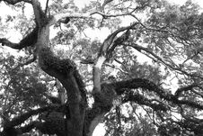Free The Old Oak Royalty Free Stock Image - 1085186
