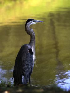 Free Heron Royalty Free Stock Photos - 1086708