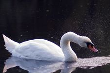 Free Swan On Pond Royalty Free Stock Photo - 1086915