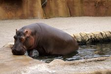 Free Hippo Stock Photography - 1087142