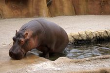 Free Hippo Royalty Free Stock Image - 1087146