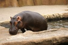 Free Hippo Royalty Free Stock Image - 1087166