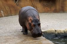 Free Hippo Stock Photography - 1087172