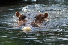 Free Hippo Stock Photo - 1087230