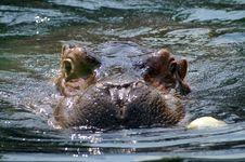 Free Hippo Stock Image - 1087231