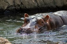 Free Hippo Stock Images - 1087274