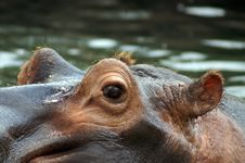 Free Hippo Stock Photo - 1087330