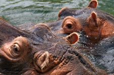 Free Hippo Royalty Free Stock Photos - 1087338