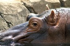 Free Hippo Royalty Free Stock Photos - 1087348