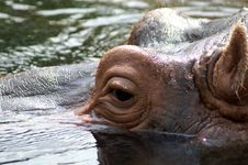Free Hippo Royalty Free Stock Photos - 1087398