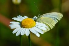 Free Butterfly On Chamomile Flower Stock Photos - 1087663