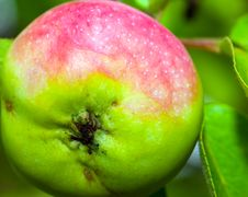 Free Apple Stock Photos - 1087963
