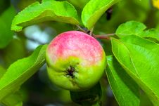 Free Apple Royalty Free Stock Image - 1087966