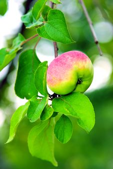 Free Apple Stock Photo - 1088000