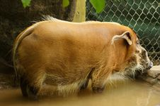 A Boar At The Zoo Royalty Free Stock Photo