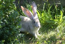 Rabbit Looking For Food Stock Photography