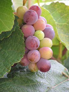Free Grapes Royalty Free Stock Image - 1089596