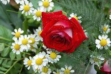 Free Red Rose Royalty Free Stock Photos - 1089998