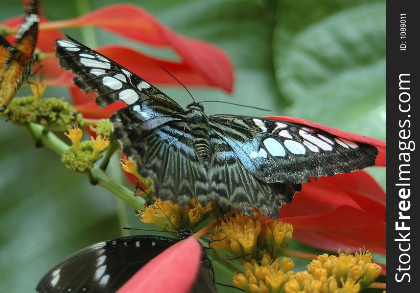 Blue Clipper Butterfly 3785