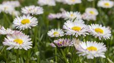 Free Flower, Daisy, Daisy Family, Meadow Stock Images - 108040294