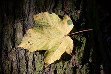 Free Leaf, Plant, Autumn, Maple Leaf Stock Image - 108040301