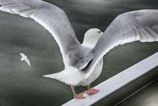 Free Bird, Gull, Beak, European Herring Gull Royalty Free Stock Image - 108040496