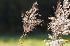 Free Grass Family, Grass, Plant, Phragmites Stock Photos - 108040543