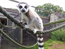 Free Fauna, Lemur, Primate, Terrestrial Animal Stock Photos - 108043393