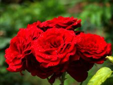Free Flower, Rose, Rose Family, Red Stock Images - 108043464