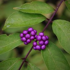 Free Plant, Berry, Leaf, Huckleberry Royalty Free Stock Photos - 108045808
