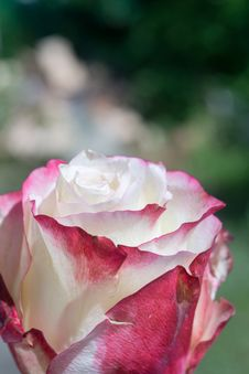 Free Pink White Roses Royalty Free Stock Image - 108082626
